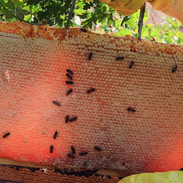 miel de abeja respaldiza